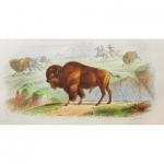 Engraving Buffon XIX Eme Bison Wild West Cowboy Natural History Indians Hunting Nature Usa Etats Unis